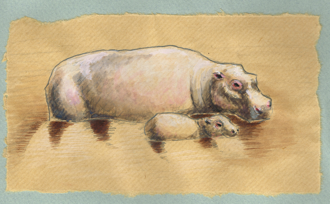 Hippos du fleuve Zambese - Zambie - 2011